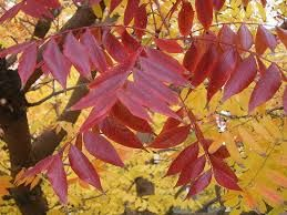 Image result for Fraxinus raywood claret ash
