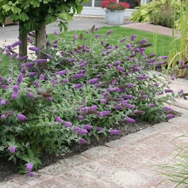 Buddleja Davidii Blue Chip Tuinplanten Vlinderstruik