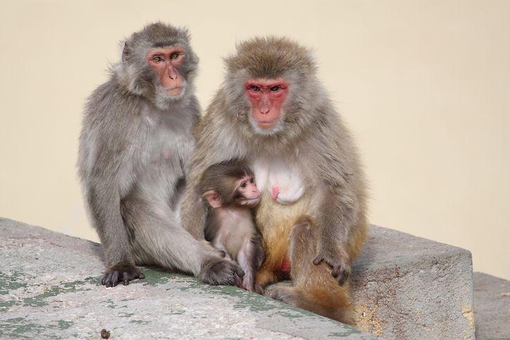 Wildlife primate macaca-fuscata family