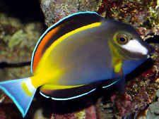 *Powder Brown Tang* Live Fish for Saltwater Marine Reef Aquarium LIVE GUARANTEE