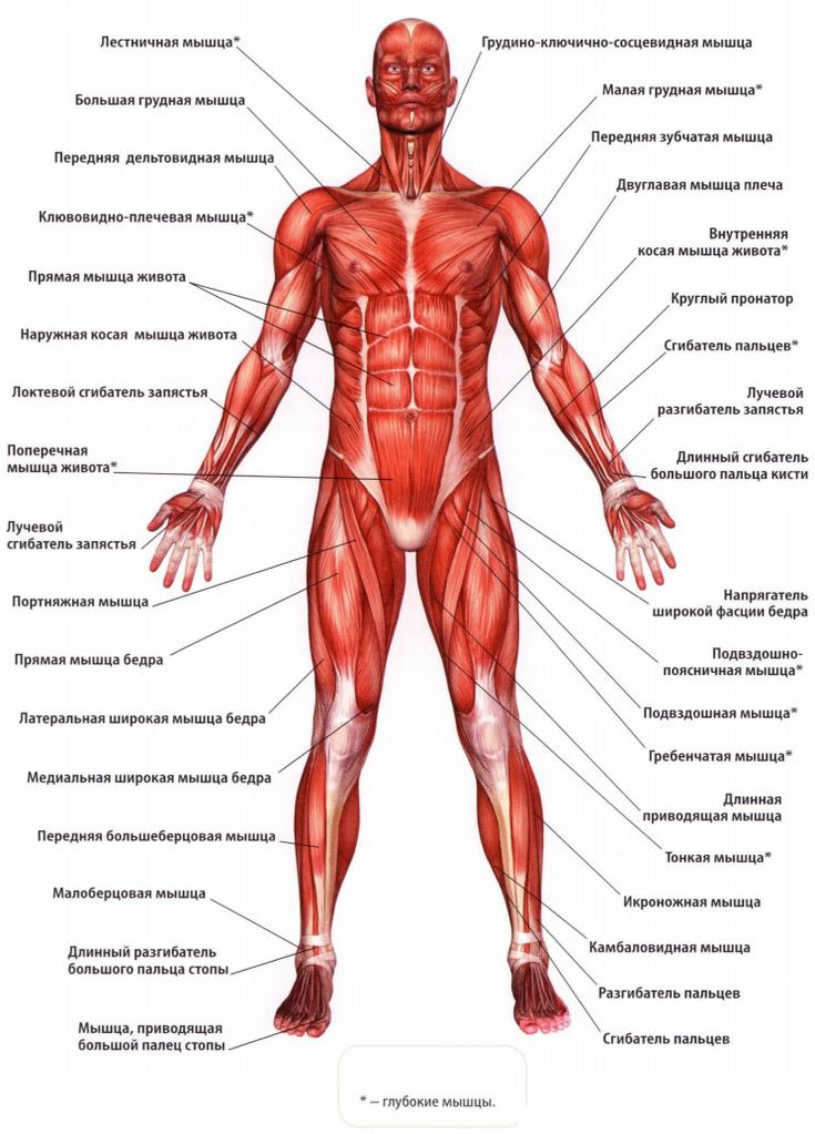 Части тела картинки анатомия