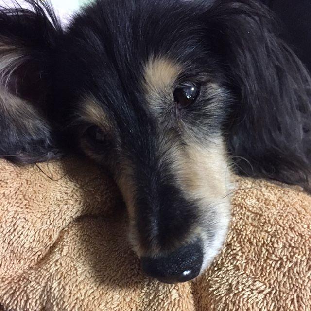 疲れてるのに眠れないよー 疲れてるから眠れないのかなー あーどしよ。 と、考えれば考えるほど眠れません‼︎( ・᷄・᷅ ) ✧*̣̩⋆̩☽⋆゜ ✧*̣̩⋆̩☽⋆ ✧*̣̩⋆̩☽⋆゜ . #眠れない夜 #考え込んでしまう #カニヘン #ダックス #ダックスフンド #愛犬 #カニヘンダックス #カニンヘンダックスフンド #カニンヘンダックス #シニア犬 #JAPAN #dog  #dachshund #dogphoto #dogpics #オードリー #老犬ダックス #老犬 #老犬介護 #かけがえのない時間 #愛犬の手術