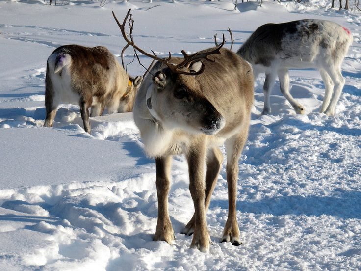 Because you can spot reindeer in the wild. | 56 Reasons You Should Move To Finland Immediately