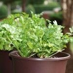 How to keep Cilantro Plants from bolting too quicky