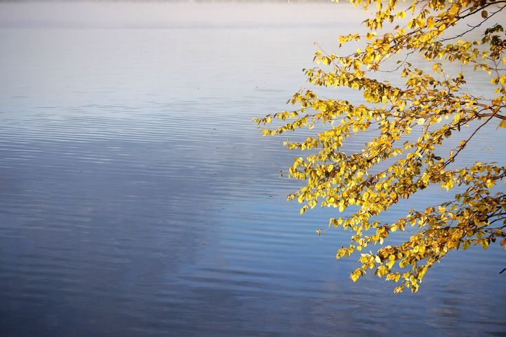 Birch leaves changing colour in Canadian shield country in the Autumn over still fresh water. longwkd.com