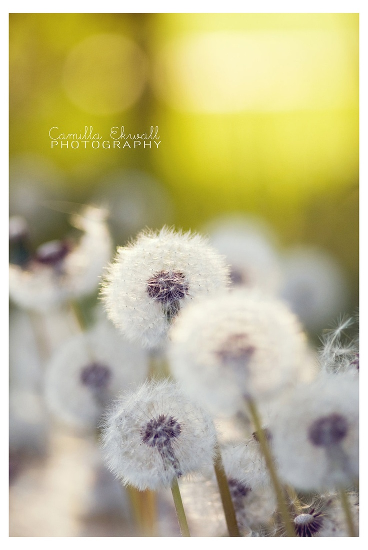 21 best Dandelions images on Pinterest | Dandelions, Dandelion and ...