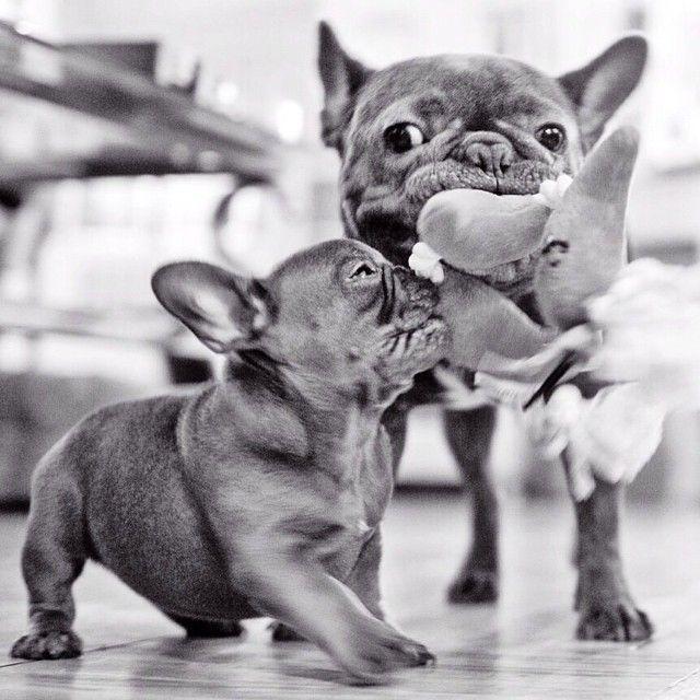 """It's MINE!"" Bossy French Bulldog Puppy."