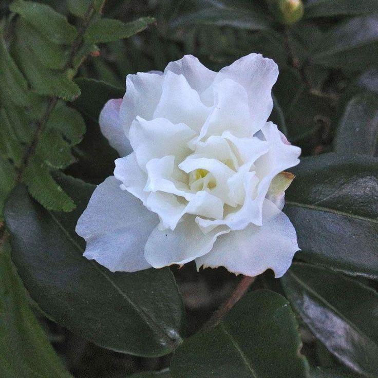 Kings Plant Barn - Camellia Sas Silver Dollar