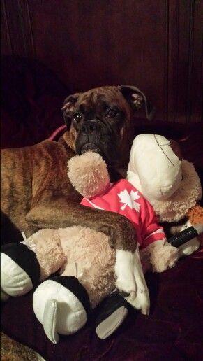boxer loves stuffy