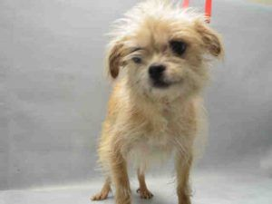 12/6/16 STILL THERE!! CAME IN WITH PENELOPE!! 12 YEARS OLD!! OWNER SURRENDER! SUPER URGENT 12/02/16 Brooklyn Center SANDY – A1098334 FEMALE, TAN / WHITE, RAT TERRIER, 12 yrs OWNER SUR – EVALUATE, NO HOLD Reason LLORDPRIVA Intake condition UNSPECIFIE Intake Date 11/30/2016, From NY 11203, DueOut Date 11/30/2016, I came in with Group/Litter #K16-082996.