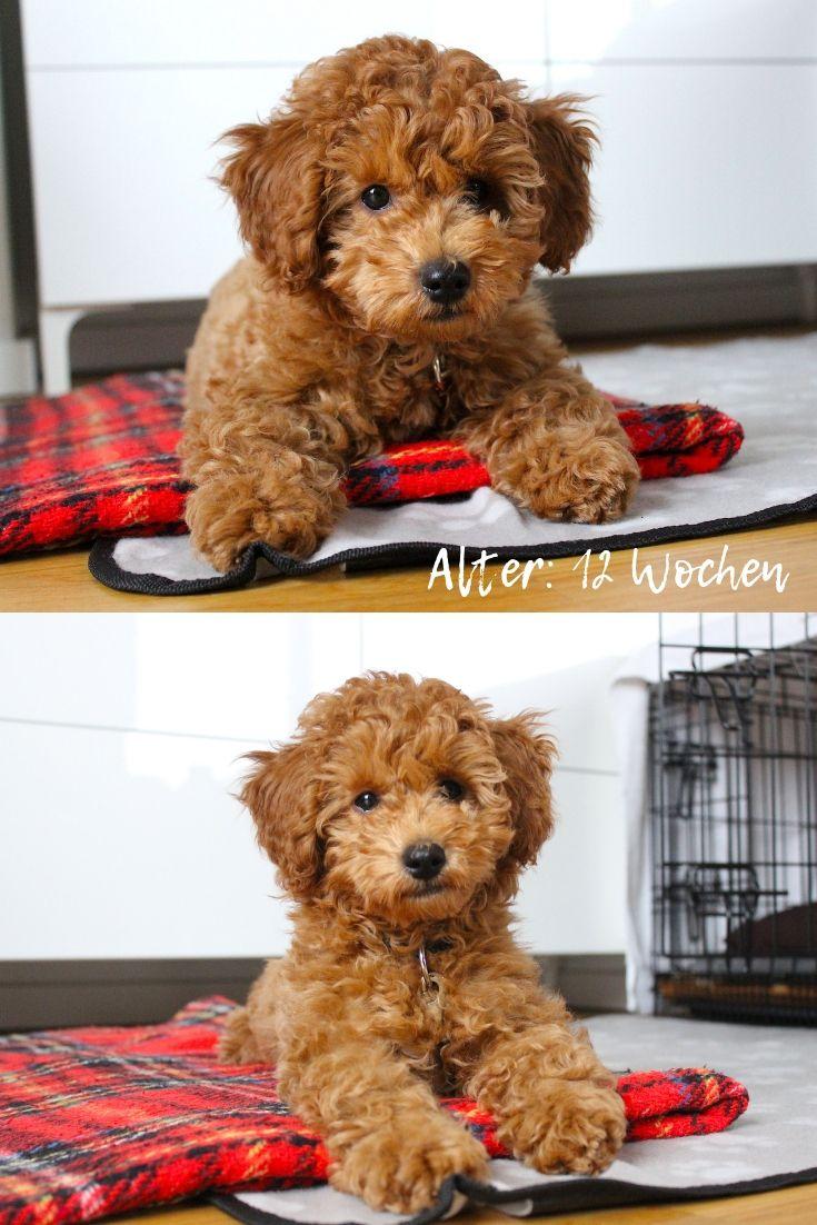 Zwergpudel Braun 12 Wochen Poodle Puppy Poodle Puppies