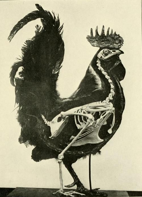 biomedicalephemera:    Skeleton of the Chicken (Gallus gallus domesticus)  Superimposed over the basic form of the fowl, to give a better approximation of how the musculature and feathering of the animal is constructed.  The bird; its form and function. C. William Beebe, 1907.
