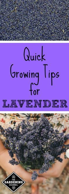 Use these growing tips for healthy lavender plants in your garden.