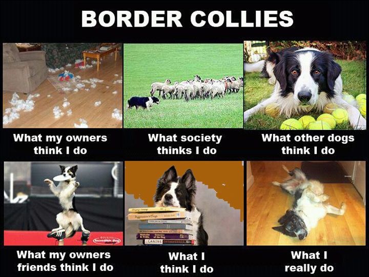 Border Collie Funny Memes, Border Collies