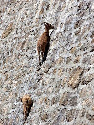 Fieggentrio: Clubje berggeiten graast op 50 meter hoge dam. (vi...