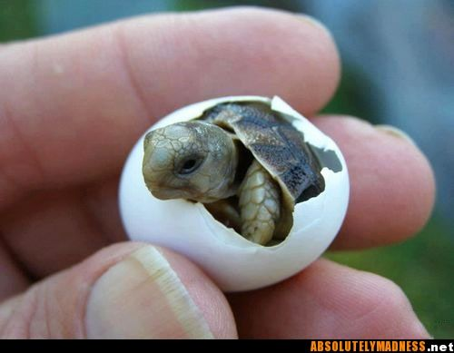 "Itty Bitty Turtle. Of the seven species of sea turtles, all are listed on the IUCN Red List of Endangered Species as either ""endangered"" or ""critically endangered."