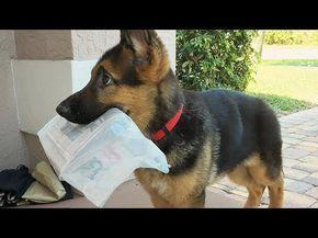Funny German Shepherds Epic Laughs Youtube Cute German