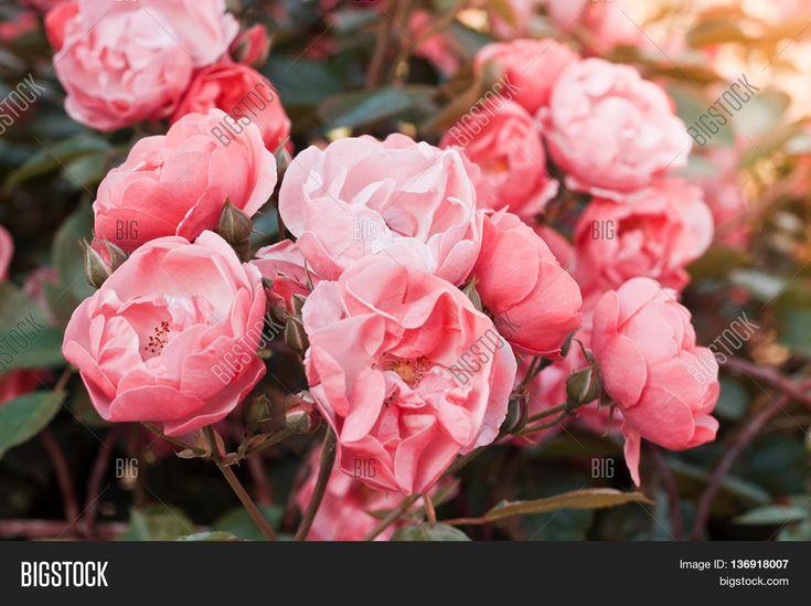 Bushes pink tea rose in a vintage film effect with toning. Rose Garden.