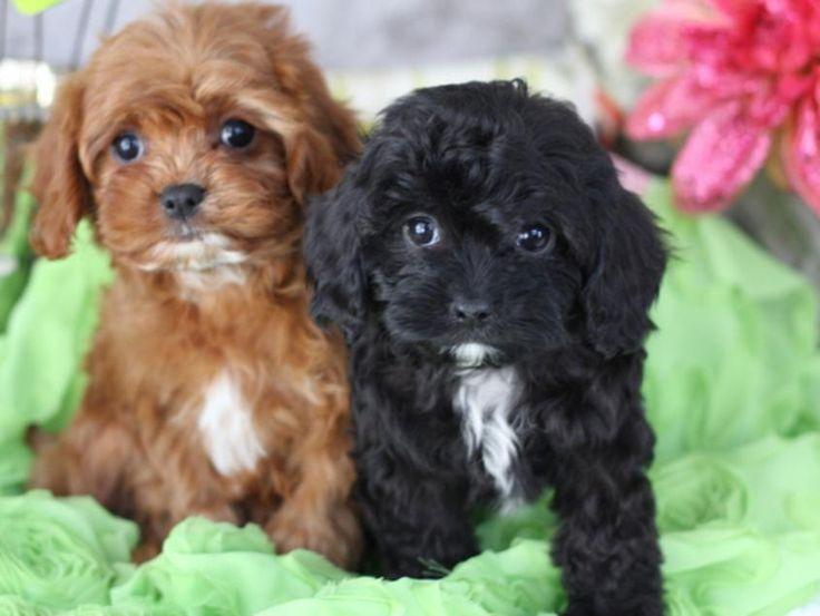 Foxglove Designer Cavachon Puppies