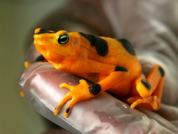 The Vancouver Aquarium says it has bred Panamanian golden frogs - a species believed to be extinct in the wild.