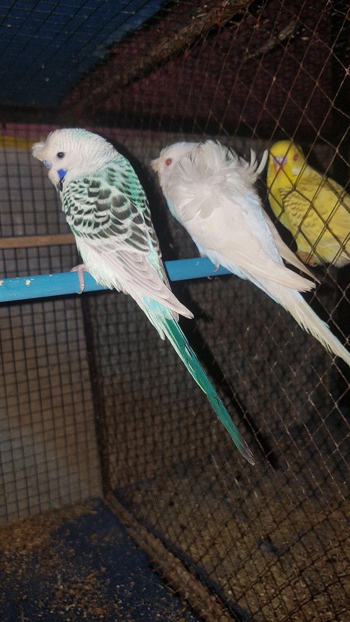 Tcb With Lacewing Hagoromo Budgies Bird Budgies Parakeet