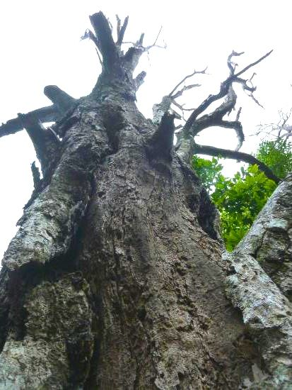 The oldest clove tree in the world is called 'Afo'. For 400 years it has graced the slopes of Mount Gammalama, Ternate.  Once standing 40 metres tall and 4 metres round the trunk, it remains a treasured sentinel. What is left of Afo today is surrounded by a protective wall as the locals, not appreciating its place in their history, once mistakenly hacked several branches off for firewood. The clove tree defied an empire…