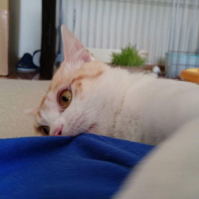 ブランから腕を蹴りぐるみ認定されました(´・ω・`)噛む蹴りは当たり前、鬼のような形相です(´д`|||) #猫#ネコ#ねこ#にゃんこ#にゃんすたぐらむ #cat#pet#雑種猫#雑種ネコ#雑種ねこ#雑種ねこlove #猫バカ#愛猫#ねこ部#猫love#ねこらぶ#蹴りぐるみ