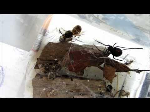 Black Widow Spider Traps Queen Wasp