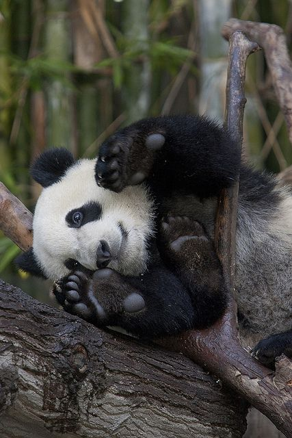 Yun Zi practices his yoga... or is it his peekaboo? (photo by The San Diego Zoo): San Diego, Animals, Yun Zi, Photo, Pandas, Panda Bears