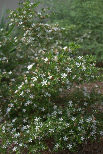 One of the standout plants in this garden is the Philotheca difformis, seen above it is covered in dainty white star flowers and has a beautiful scent. It is being used here as a second story screen between the Prostanthera 'Minty' and Dianella.
