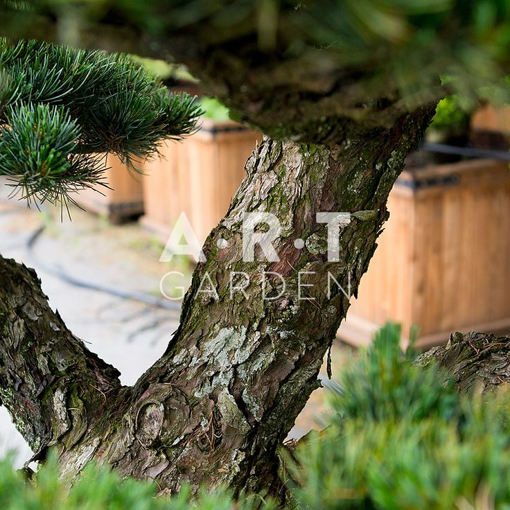 595 best images about arbres nuage japonais bonsai geant. Black Bedroom Furniture Sets. Home Design Ideas