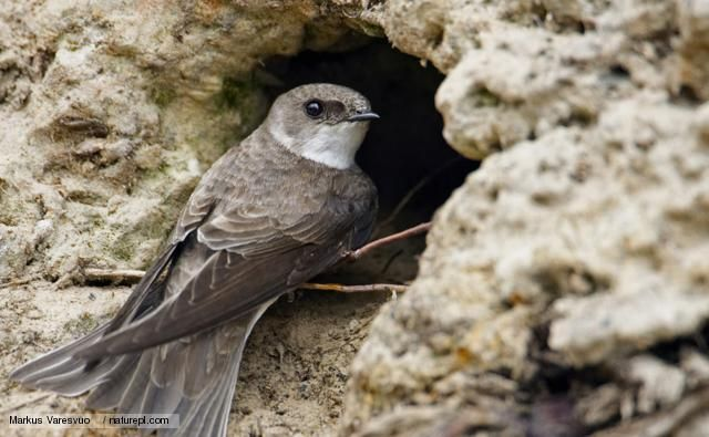 Sand martins are so named because they nest in sandy river banks or sandy coastal cliffs. Description from bbc.co.uk. I searched for this on bing.com/images