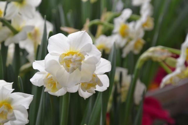 narcis, bílý narcis, white narcissus, spring, jaro