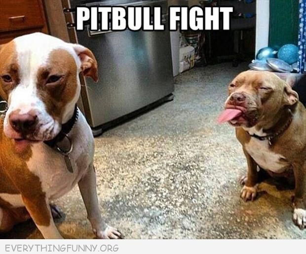 funny caption photo pitbull fight sticks out tongue