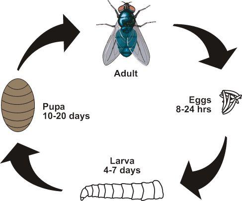 Medical Maggots™ (maggot therapy, maggot debridement therapy, MDT ...