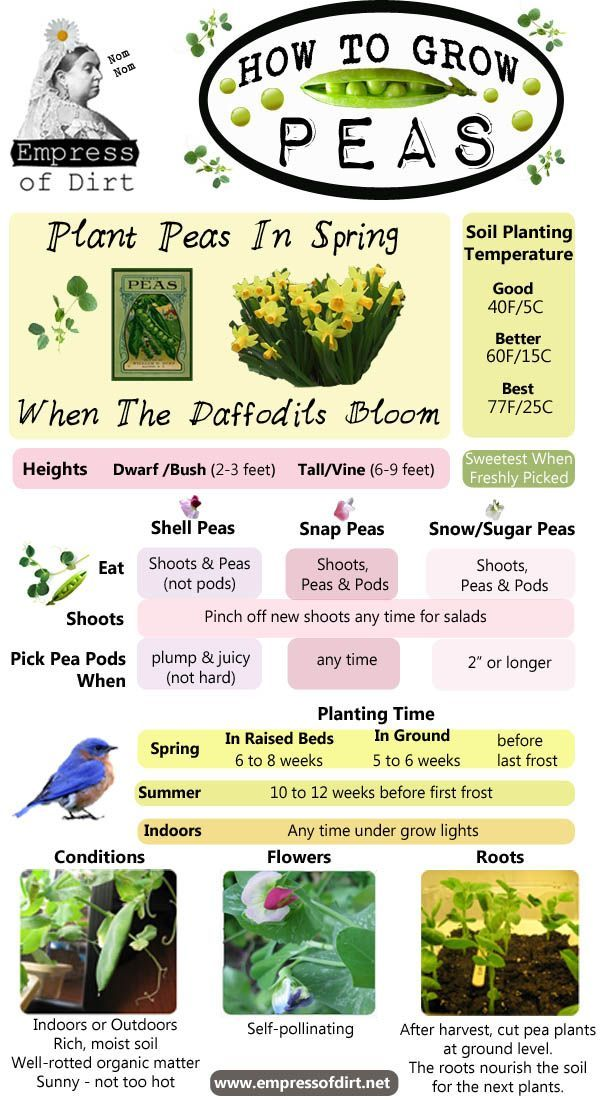 How To Grow Peas. For Flowers, Shoots, Peas, Pods, and Soil Enriching.