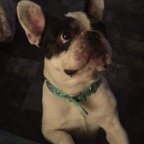 Those eyes❤️ I know you said No! But I have frenchie face ... so Yes! ha.. #Frenchbulldog #animal #puppy #dog