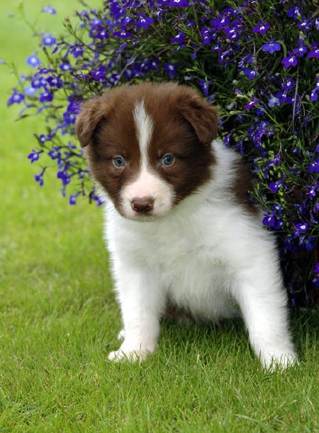 So cuuuutte!: Puppies Pictures, Border Collie Puppies, White Border, Dogs, Puppies Eye, Pup Brown Border, Bordercolli, Boarders Collies Puppies, Brown Border Collies Puppies