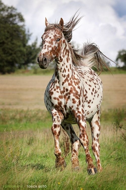 "Leopard Appaloosa -  Here is a neat fact:  The Appaloosa breed was developed by the Nez Perce indians in the rolling hills of the Palouse area - what is now Eastern WA and OR, and Western ID.  They were originally called ""Palouse Horses"" by settlers because of the Palouse river that flowed through the area the Nez Perce called home.  The name over time got changed to Appaloosa.  The Appaloosa museum is just 30 minutes from where I live, in a town called Moscow, ID."