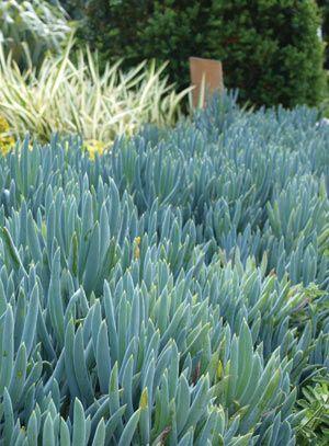 chalk plant Senecio Serpens - The Diggers Club