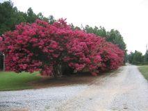 TUSCARORA (25' Watermelon Red, Most Popular Tree)