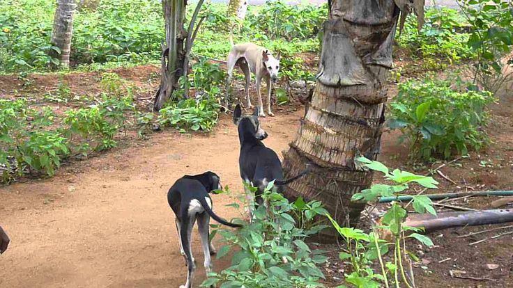 Kanni dog photo   Chippiparai and Kanni Dogs - YouTube