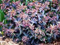 Image of Euphorbia dulcis 'Chameleon'