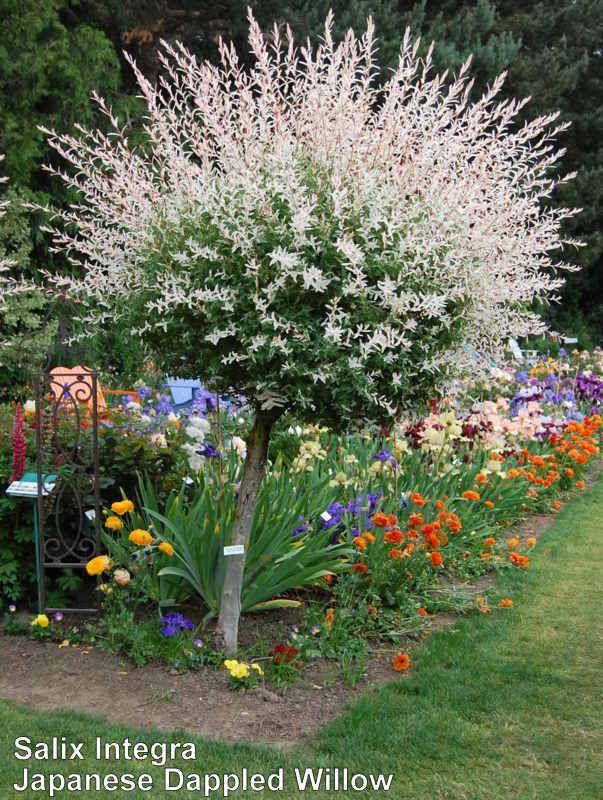 Photo of Dappled Willow (Salix integra 'Hakuro-nishiki') uploaded by coboro