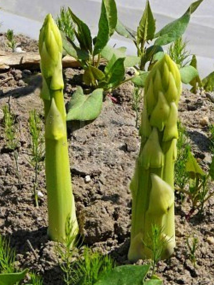 how to grow more asparagus