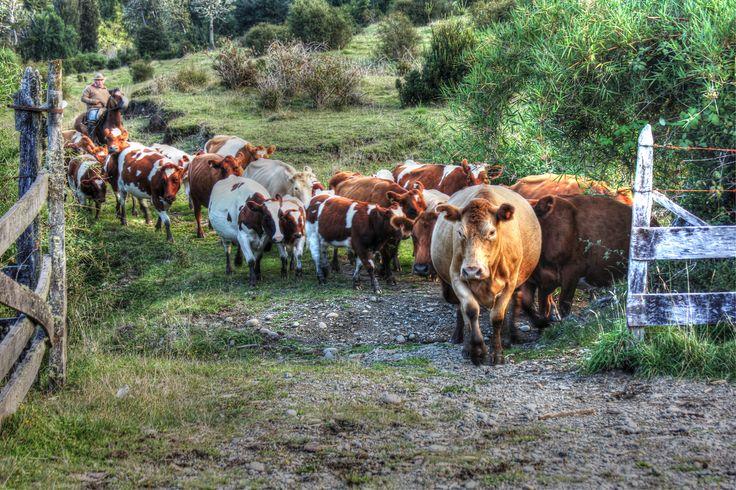 Vacas Chilotas