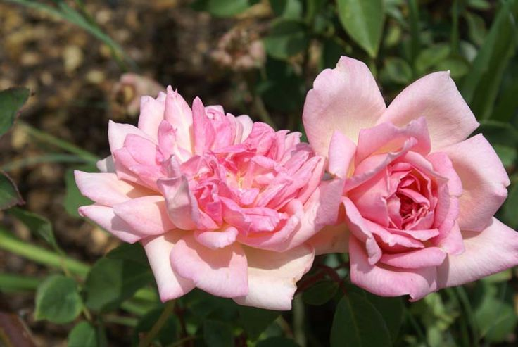 Souvenir de Mme Léonie Viennot - Ludwigs Roses   (Tea) Blooms of pale yellow shaded with copper-pink. Will flower continuously into Winter.