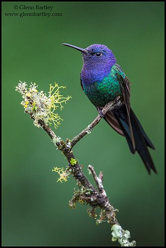 Swallow-tailed Hummingbird (Eupetomena macroura) by Glenn Bartley - www.glennbartley.com, via Flickr