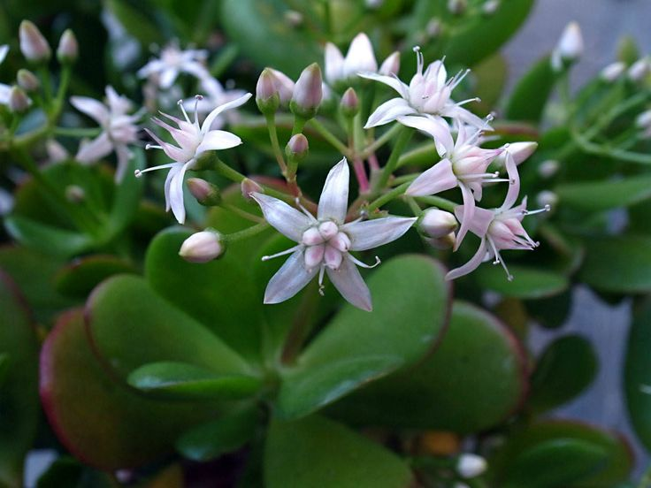 Crassula ovata - Money Tree, Jade Plant, Lucky Plant is a large well-branched, compact, rounded, evergreen shrub, up to 6 feet (180 cm) tall...