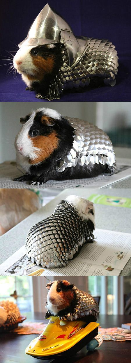 """The scale-mail is made from polished steel scales and steel rings. It was painstakingly """"woven"""" by me over several weeks in an effort to better prepare my guinea pig Lucky for the dangers of the modern world. The helmet was purchased at a Renaissance Faire later as it was the perfect finishing touch."""